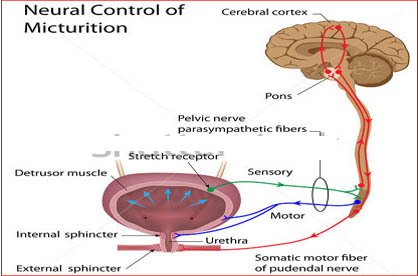 Micturition ( Neural Control of Urination)