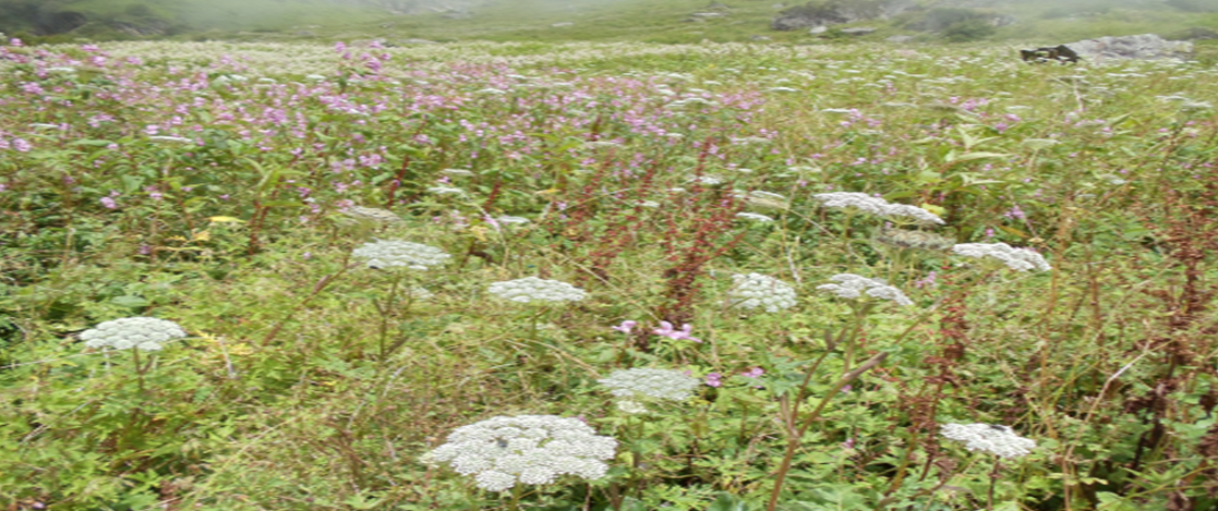 Valley Of Flowers-A Unique Repository Of Medicinal Plants
