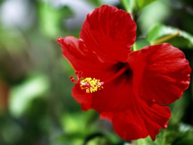 Medicinal Uses Of Hibiscus Leaves And Flower Blogs