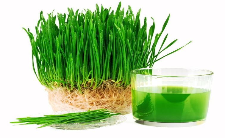 Freshly Sprouted Wheat Grass Juice