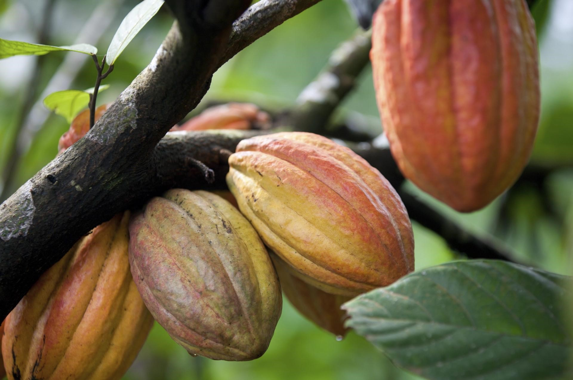 Cocoa – A Basis For Chocolate