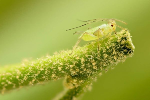 Interesting facts about Aphid