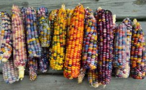 Colours Corn