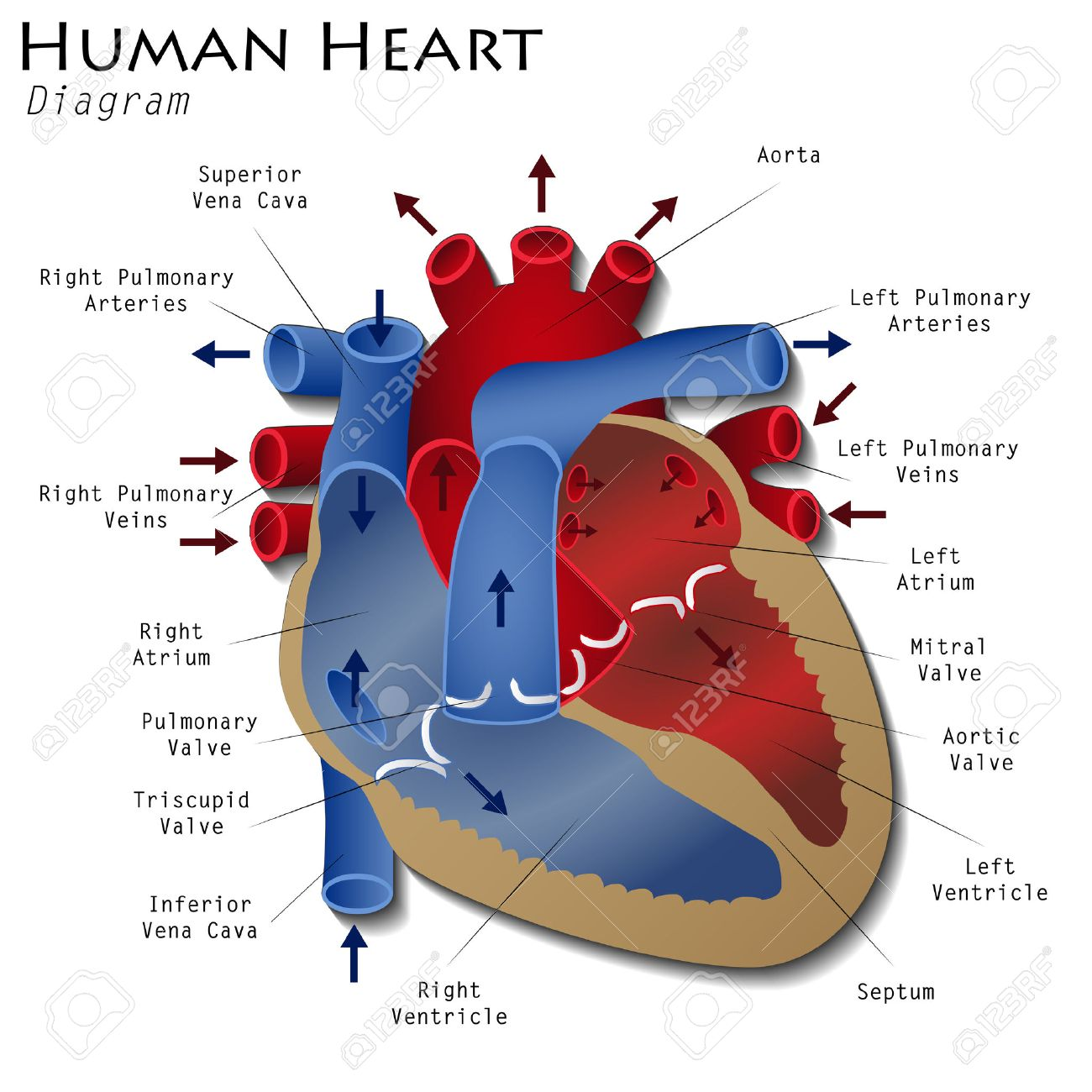 human-heart-diagram